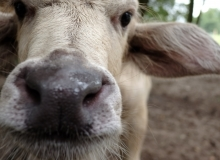 cropped buffalo